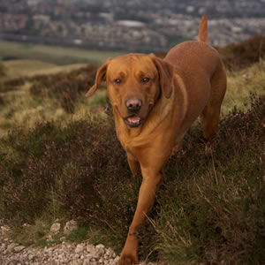 Dog Walking Midlothian Happy Paws